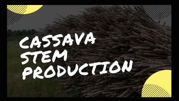 Tapping into Cassava Stem Production Opportunity in Nigeria